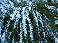 Interlaken-Ferns-in-the-snow-2896.jpg