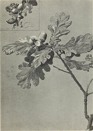 Rex Vicat Cole - Study of oak leaves and acorns.jpg