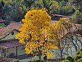 Ipê amarelo florido - panoramio.jpg
