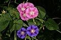 Ipomoea purpurea 1DS-II 3-0528.jpg