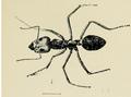 Iridomyrmex purpureus in Australian insects Froggatt 1907.png