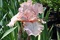 Iris germanica Pink Attraction 0zz.jpg