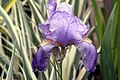 Iris pallida Albo Variegata 1zz.jpg