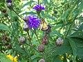 Ironweed (Veronia noveboracensis).jpg