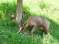 Isard femelle et jeune Argelès-Gazost parc animalier (1).JPG