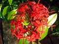 Ixora flower 4.JPG