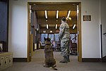 JBER military working dog teams hone their capabilities during annual certification 161014-F-YH552-008.jpg