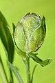 Jaapiella genisticola on Genista tinctoria (31544548460).jpg