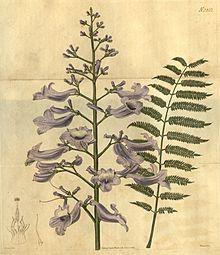 Palisanderholzbaum  Palisanderholzbaum – Wikipedia
