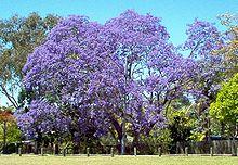 Grande albero di jacaranda in fioritura