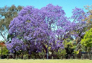 Large Jacaranda in full bloom.