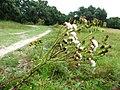 Jacobaea vulgaris subsp. dunensis inflorescence (04).jpg
