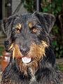 Jagd Terrier.jpg