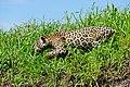 Jaguar (Panthera onca) male on the river bank ... (28885778520).jpg