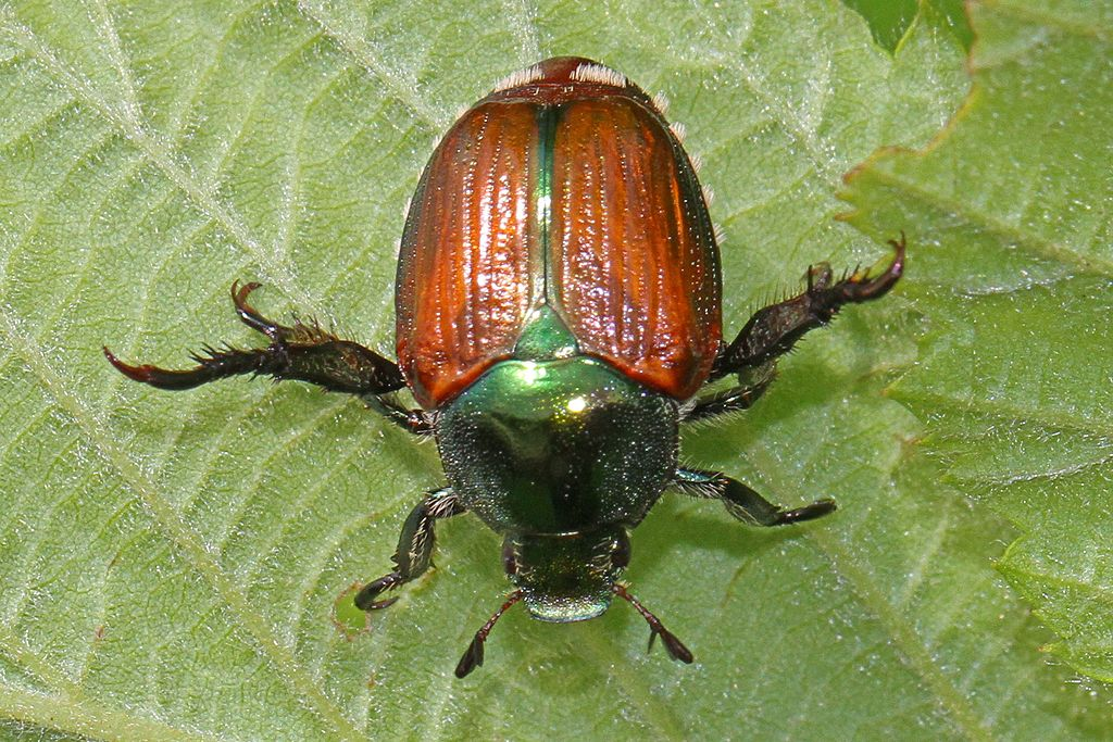 Japanese Beetle - Popillia japonica, Julie Metz Wetlands, Woodbridge, Virginia