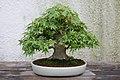 Japanese Maple (Acer palmatum) (3504612539).jpg