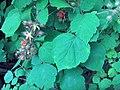 Japanese Wineberry (2996982154).jpg