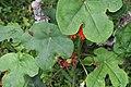Jatropha podagrica 29zz.jpg