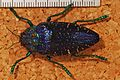 "Jewel Beetle (Polybothris sumptuosa) ""gema morph"" (8232028909).jpg"