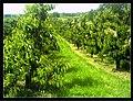 June Flower ^ Cherry Farming Endingen Kaiserstuhl - Master Seasons Rhine Valley Photography 2013 - panoramio (23).jpg