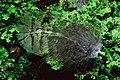 Kakapo feather on moss (8528565943).jpg