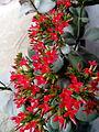 Kalanchoe pinnata flower 2.jpg