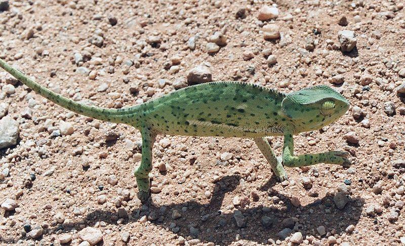 http://upload.wikimedia.org/wikipedia/commons/thumb/0/0f/Kameleon.jpg/800px-Kameleon.jpg