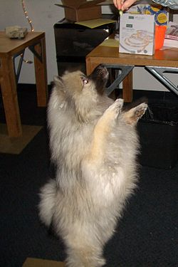 definition of keeshond