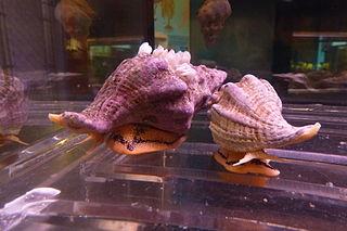 <i>Kelletia</i> genus of Gastropoda