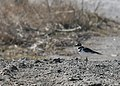 Killdeer (2404530914).jpg