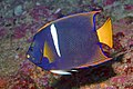 King Angelfish (2055893759).jpg