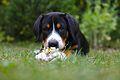 Kira von S Entlebucher Sennenhund.jpg