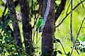 Kleiner grüner Bienfresser.jpg