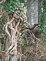 Knarled Trees at Abbot's Pool - panoramio.jpg