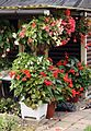 Knollenbegonien (Begonia × tuberhybrida) (9512986419).jpg