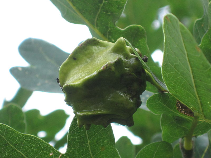 File:Knopper gall on oak (Quercus robur), induced by Andricus quercuscalicis (gall wasp), Arnhem, the Netherlands.jpg