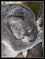 Koala resting-1 (6289634495).jpg