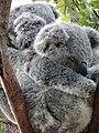 Koalas at Currumbin Wildlife Sanctuary - Currumbin - Queensland - Australia - 02 (35913864075).jpg
