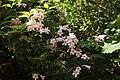Kolkwitzia amabilis (Paradisbuske) 001.jpg