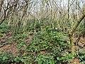 Korina 2013-03-18 Mahonia aquifolium 16.jpg