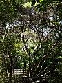 Kunzea robusta de Lange and Toelken (AM AK300558).jpg