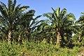 Kyaikto, palmeras de aceite.jpg