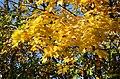 Lønneblad gule Drammen okt.20.jpg