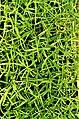 L Tarragon Seedlings.jpg