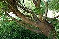 Laburnum alpinum JPG1E.jpg
