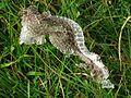 Lacerta agilis (Sand lizard), Veluwezoom, the Netherlands.jpg