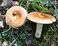 Lactarius proximellus Beardslee & Burl 676656.jpg