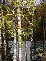 Lake Thru Lit Birches (5015291911).jpg