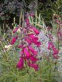 Lamiales - Penstemon cultivars 'Garnet' 1.jpg