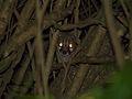 Large-spotted Genet (Genetta tigrina) (13984509904).jpg